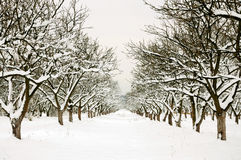 Row through winter orchard. In cloudy day Royalty Free Stock Photo