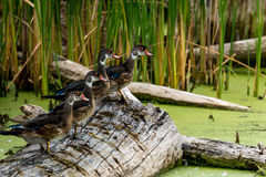 Row of Wood Ducks. A row of young wood ducks resting on log Royalty Free Stock Image