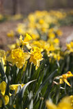 Row of Yellow Daffodil Flowers in the Spring Stock Image
