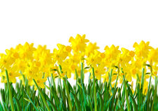 A row of Yellow Daffodils. A row of bright Yellow Daffodils Royalty Free Stock Photography