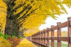 Row of yellow ginkgo trees in Asan, Korea. Stock Image