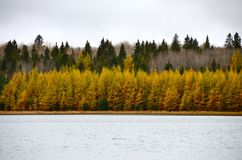 Row of yellow and green evergreen trees along the shoreline of a lake Royalty Free Stock Photography