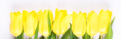Row of yellow spring flowers on a light background royalty free stock photography