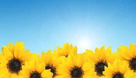 Row yellow sunflower on blue sky. Agriculture Stock Photos