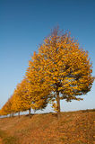 Row of yellow trees Royalty Free Stock Images