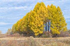 Row of yellow trees with cloudy sky. Row of yellow larch with cloudy sky nature royalty free stock images