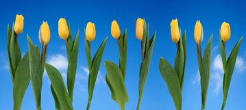 Row of yellow tulips Royalty Free Stock Photos