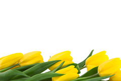 Row of yellow tulips isolated on white background. Stock Photos