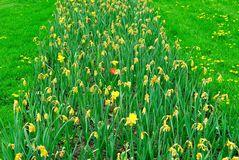 Row of yellow tulips wilting with surviving red blooming tulip Stock Photography