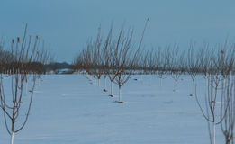 Row of young apple trees in snow Royalty Free Stock Photos