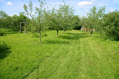 Apple orchard in spring time. A row of young apple trees in spring time in countryside Stock Images