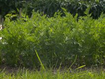 Row of young carrots growing in the garden. Organic garden in the small village farm. Royalty Free Stock Photos