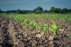 Row of young corn plants against the sky.  royalty free stock photos