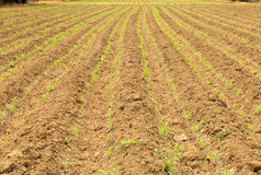 Row of young corn on plow land Stock Photos