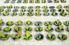Row of young green cos lettuce/ butterhead - hydroponics vegetab Stock Image