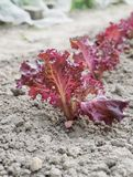 A row of young lettuce plants Royalty Free Stock Images