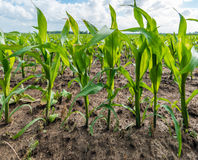 Row of young maize plants in a wet field from close. Closeup of the first row of young fodder maize plants in a large field. The field is still wet after a Royalty Free Stock Photography