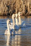 Row of young swans Royalty Free Stock Photos