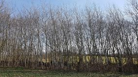 A row of young trees on a hedges wall in early spring. A Kink or Hedged bank in German: Knick is a woody overgrown, mostly artificially built earth or stone wall Royalty Free Stock Photos