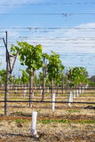 Row of Young Vines in Grow Tubes Supported by V-Trellis. Stock Photography