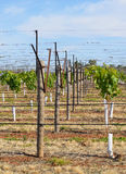 Row of Young Vines and V-Trellis. Stock Photo