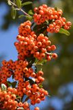 Rowan-δέντρο με rowanberry Στοκ Εικόνα