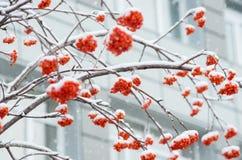 Rowan στο χιόνι Στοκ φωτογραφία με δικαίωμα ελεύθερης χρήσης