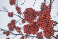 Rowan το χειμώνα, στα πλαίσια του ουρανού στοκ φωτογραφία