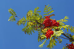 Rowan. Image of the branch of the sorb apple Stock Photos