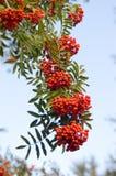 Rowan. Red ripe rowan tree against the sky royalty free stock photos