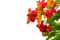 Rowan. Tree branch red ripe with bright red leaves on a white background Stock Image