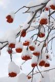 Rowan. Snow on the red berry of rowan Royalty Free Stock Photos