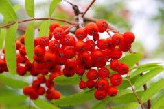 Rowan. Red rowan berries in fall royalty free stock photography