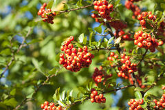 Rowan. Branches covered with beautiful red berries. Total captured one of the autumn mornings stock photography