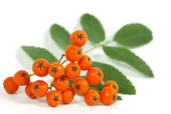 The Rowan Stock Photo
