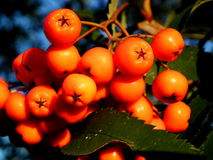 Rowan. Ripening in the warm autumn sun Royalty Free Stock Photo