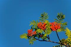 Rowan. Tree with bright ripe berries Stock Photos