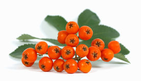 Rowan. Fruits and the leaf of the rowan on the white background Stock Photos