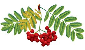 Rowan. Raster version of vector image of red rowan Royalty Free Stock Image