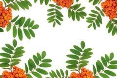 Rowan Ash Berry Fruit Background stock fotografie