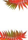 Rowan Ash Leaves. Sections of two Rowan mountain ash leaves in red and green colors of fall, one at the top of the frame, one at the bottom with both on a Stock Images
