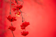 Rowan. Ashberry  berries with shallow focus background Stock Images