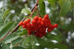 Rowanberry royalty free stock photos