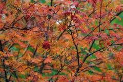 Rowan in the autumn. Hamra, sweden, sorbus aucuparia Stock Photos