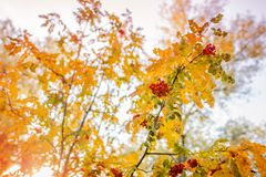 Rowan. Autumn landscape. the bushes in the Park. nature in autumn stock photos