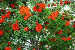 Rowan in autumn. Rowan (lat. Sorbus) is a genus of relatively low woody plants of the Pink family (Rosaceae) order Rosaceae (Rosales stock image