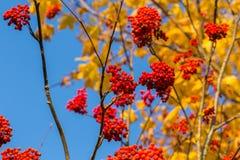 Rowan in autumn Stock Photography