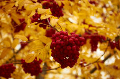 Rowan. Autumnal mood, a quick onset of winter Royalty Free Stock Image
