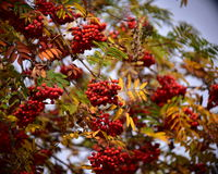 Rowan. Beautiful colorful autumn. Red rowan berries ready to eat for the birds Stock Photography