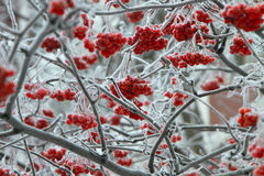 Tree in snow.Rowan. Beautiful photo of rowan in winter. Close-up. Winter forest royalty free stock photos